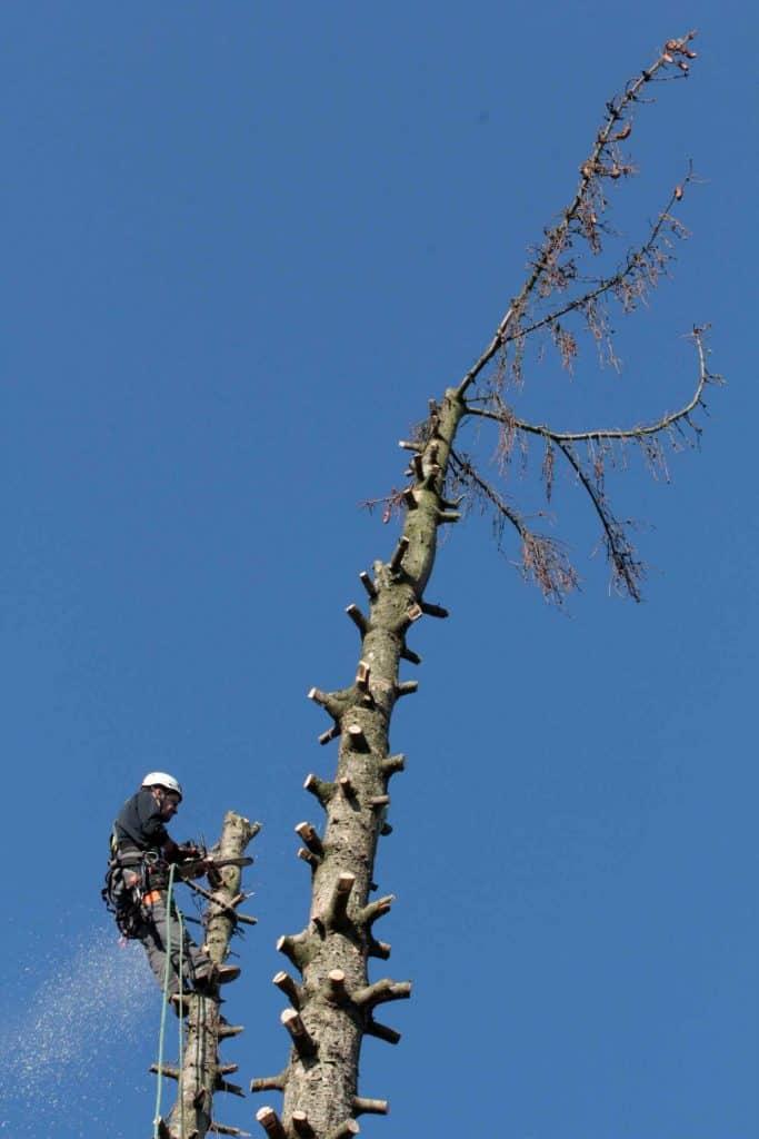 Grassmann Baumpflege: Abtragung Fichte 2015/10